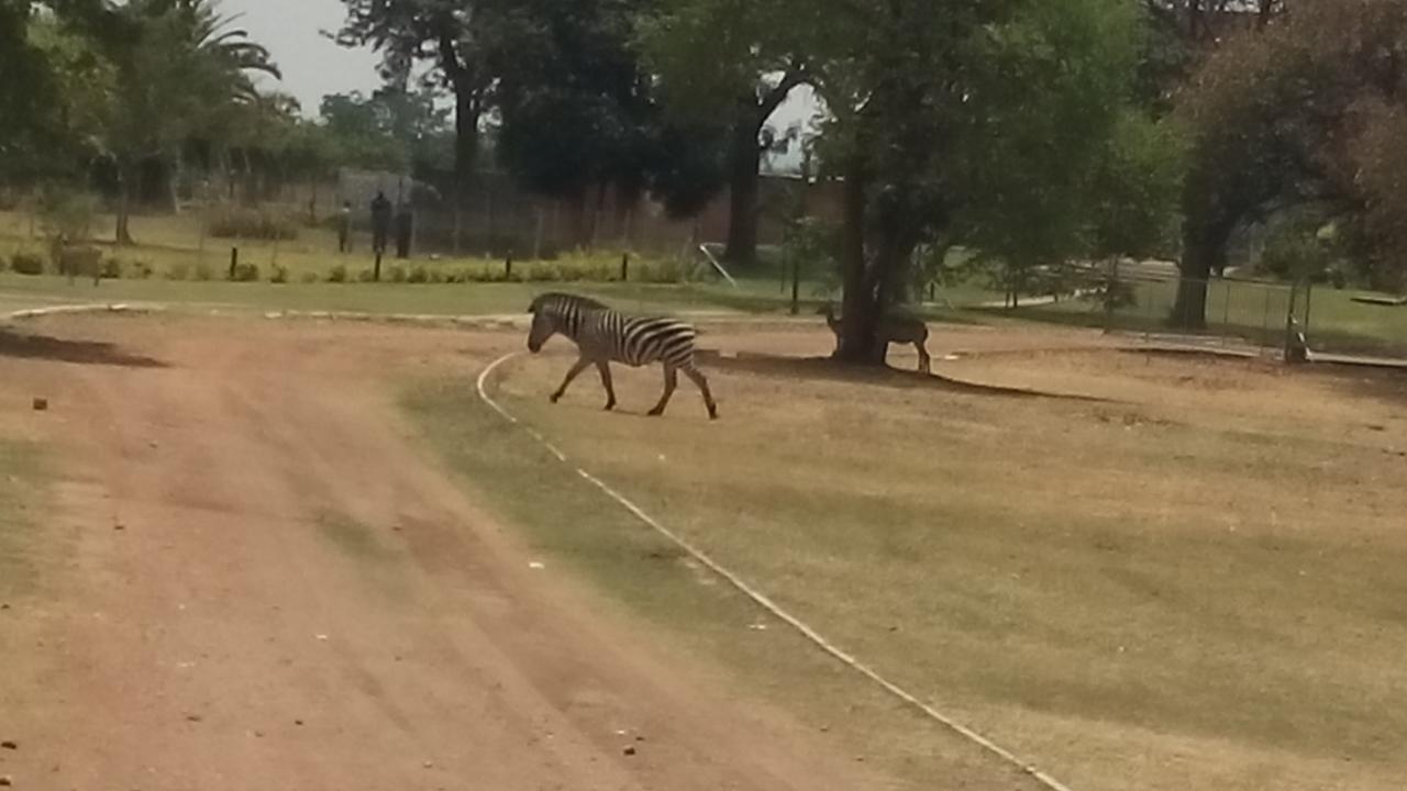 Zebras benutzen keinen Zebrastreifen!
